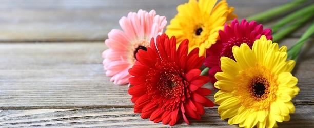 flores fáceis de cultivar gérbera